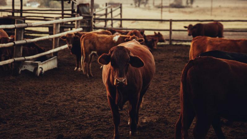 2020 Devlet Destekli Hayvancılık Kredisi Nasıl Alınır?